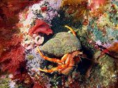 stock photo of hermit crab  - The mysterious underwater world of the Barents sea - JPG
