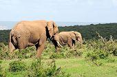 Elephants, Addo Elephant National Park, South Africa