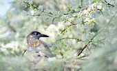 pic of brown thrush  - thrush on branch  - JPG