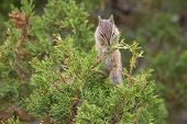 picture of chipmunks  - small rodent or chipmunk feeding on juniper berries in yellowstone national park - JPG