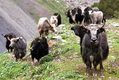 picture of nepali  - Group of Yaks  - JPG