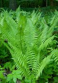 Bunch Of Common Lady Fern
