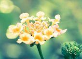 Lantana Flower, Cross Processed
