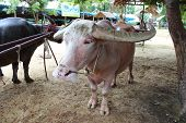 foto of albinos  - thai Albino buffalo in the country village - JPG