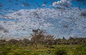 Swarm of locust
