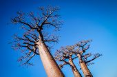 image of baobab  - Huge baobabs in the Avenida de Baobab in Madagascar - JPG