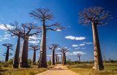 pic of baobab  - Famous Avenida de Baobab near Morondava in Madagascar  - JPG