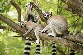 A Ring-tailed Lemur With Babies