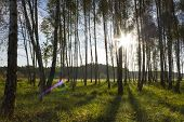 Sunrise In Birch Forest