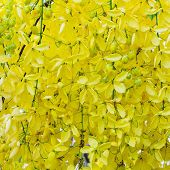 picture of cassia  - Mass of bloom of golden shower  - JPG