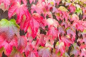 Red Leaves Of Japanese Ivy In Autumn