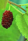 stock photo of mulberry  - black mulberry with a green leaf on a green background - JPG