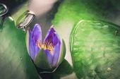 Lotus Or Water Lily Flower Vintage