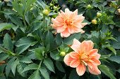 Two orange Dahlia flowers