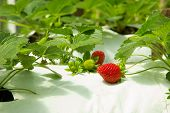 Strawberries In Different Sizes