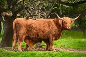 picture of cattle breeding  - Highland cattle suckling in green idyllic rural landscape - JPG