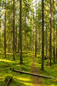 foto of virginity  - Hiking path in the virgin forest in Southern Finland - JPG