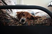 stock photo of futon  - Portrait of a young beagle dog laying on a futon couch - JPG