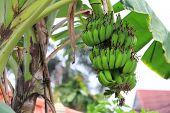 image of banana tree  - Green banana on a tree in thailand - JPG