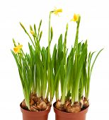stock photo of flower pot  - potted daffodil flowers grow pots isolated white