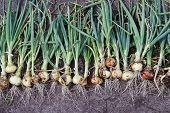 Onions Harvesting.