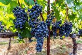 Ripe Grapes on Vine In Napa Valley
