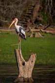 Painted Stork On Tree Stump