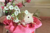 Valentine's Rat