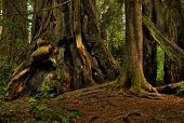picture of redwood forest  - A giant redwood tree in a lush - JPG
