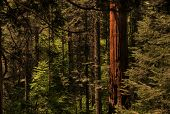stock photo of redwood forest  - Sunlight beams through a redwood forest in California - JPG