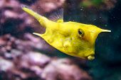 stock photo of longhorn  - - Longhorn cowfish in an aquarium - - JPG
