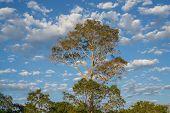 stock photo of lapacho  - Profile of ipe tree with cloudy sky at brazilian pantanal  - JPG