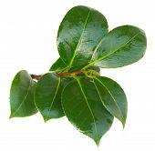 picture of azalea  - twig of azalea green leaves isolated on white background - JPG
