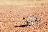 Female Leopard In Masai Mara