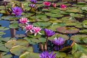 Pink lotus blossoms or water lily flowers
