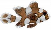 Harlequin Sweetlips Fish (plectorhynchus Chaetodonoides)