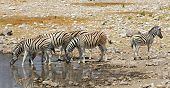 Постер, плакат: Zebra at waterhole