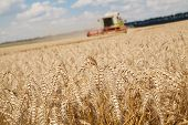 Close-up Ears Of Wheat At Field And Harvesting Machine On Background