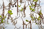 Alder Branches With Buds And Leaves On A Sky Background. Spring Theme