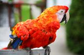 Scarlet Macaw Parrot Close Up