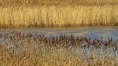 pic of marshes  - Golden brown reeds edging semi - JPG