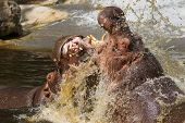 foto of hippopotamus  - Two fighting hippos in the water  - JPG