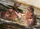 pic of hippopotamus  - Two fighting hippos in the water  - JPG