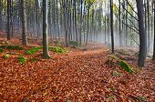 picture of decomposition  - Autumn in the misty November morning beech forest - JPG