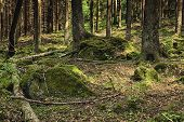 stock photo of decomposition  - The primeval forest with mossed ground and boulders - JPG