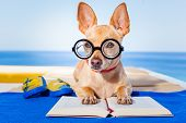 foto of palm-reading  - chihuahua dog reading a book and relaxing under the palm at the beach enjoying the summer vacation holidays - JPG