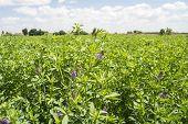 picture of alfalfa  - Medicago sativa in bloom  - JPG