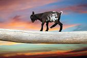 picture of clog  - courageous young goat walking on tree clog over beautiful sunset sky showing equilibrium - JPG