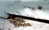 foto of bee keeping  - close up of the bees on hive at hole - JPG