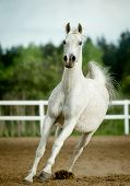 stock photo of shire horse  - white horse runs forward in summer paddock - JPG